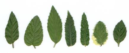 Mint leaves. From left to right peppermint, Eau de Cologne mint (M. citrata), Japanese mint (M. arvensis var. piperascens, also known as var. japonica), horsemint or silver mint (M. longifolia), Moroccan green mint (M. spicata), pineapple mint (M. suaveolens) and Carinthian mint (M. carinthiaca = M. arvensis x M. suaveolens)